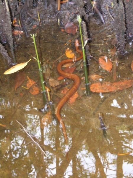 mangrove_water_snake_-_black_tern_010_